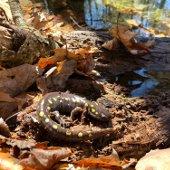 Spotted Salamander (jpg)