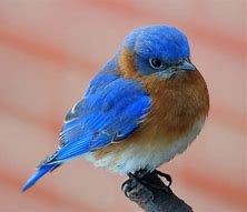 NY STATE BIRD, blue bird