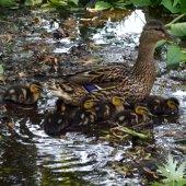 Female Mallard Duck and Ducklings (jpg)