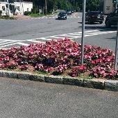Flowers in Traffic Island (jpg)