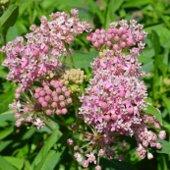 Pink Milkweed Flowers (jpg)