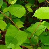 knotweed (jpg)
