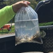 Image of Minnows in Bag