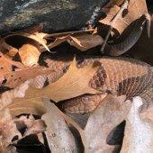 Westchester County Copperhead Snake (jpg)