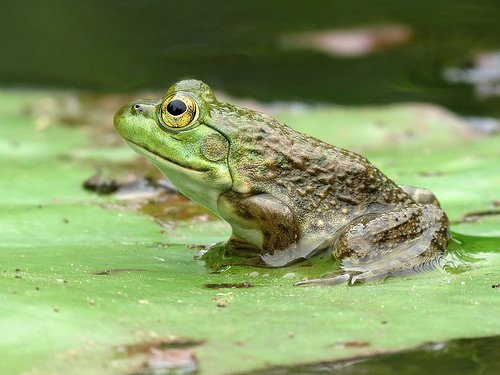 "Female bull frog --tympanum or ""ear circle"" always smaller than eye"