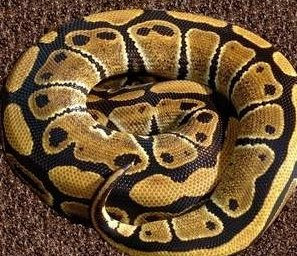 Did you know a ball python in the wild might live most its life in a tree