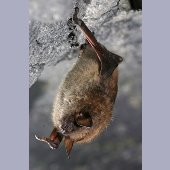 Little Brown Bat - NYSDEC Image