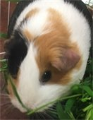Guinea Pigs teach us what they need when we watch them, carefully.