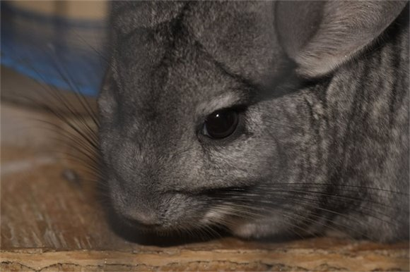 Chinchillas are active at night, sunrise and sunset.