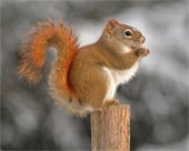 the American Red Squirrel defines the spirit of thrift, planning, problem-solving and play